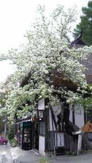 ヤマナシの木.jpg